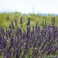 Lavender, Provence 2011