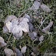 Frosty leaves - Dublin 2011