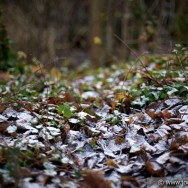 Frosty leaves - Dublin 2011